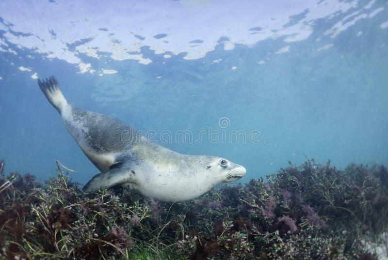 Leão de mar australiano imagens de stock royalty free
