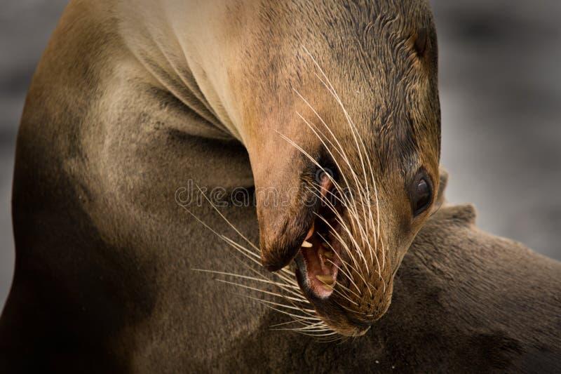 Leão de mar de Galápagos (wollebaeki do Zalophus) fotografia de stock royalty free