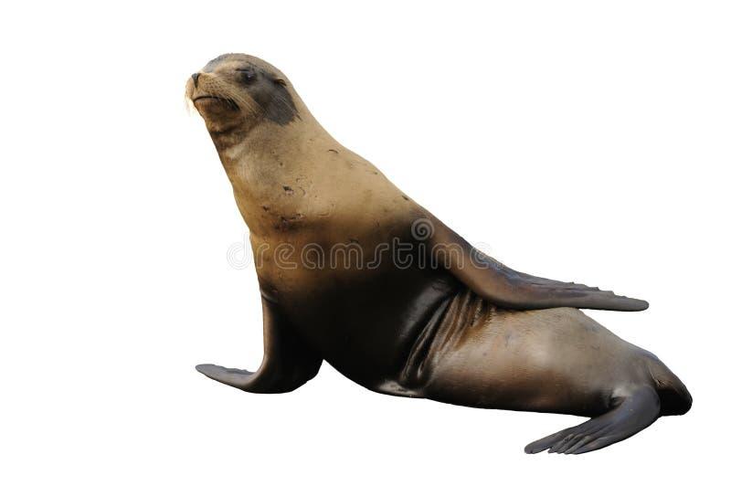 Leão de mar de Steller isolado no branco imagem de stock