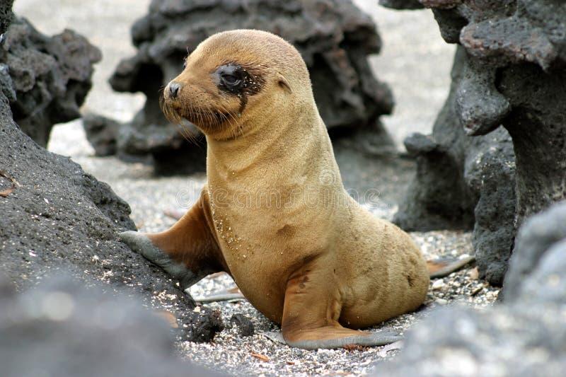 Leão de mar do bebê imagens de stock royalty free