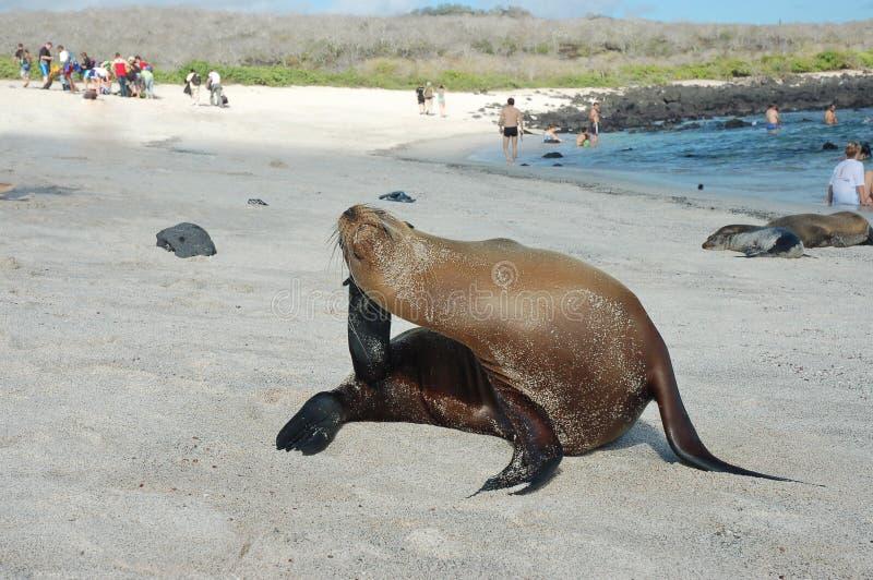 Leão de mar na costa de Galápagos. imagens de stock royalty free