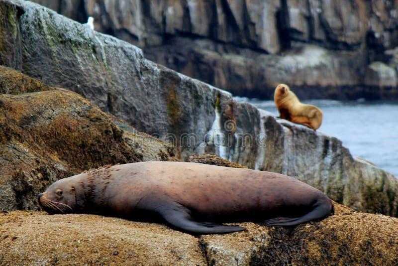 Leão de mar que olha sobre seu companheiro foto de stock royalty free