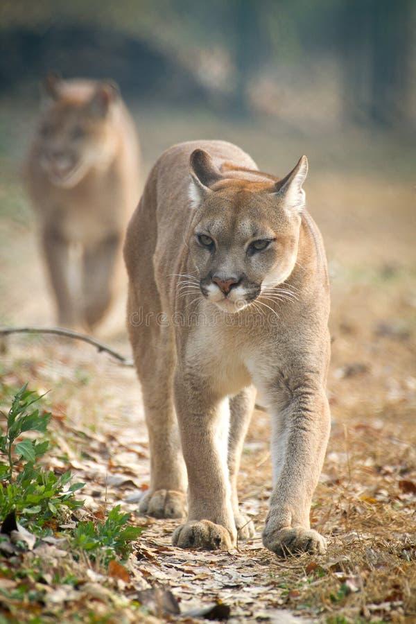 Leão de montanha fotos de stock royalty free