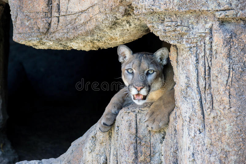 Leão de montanha fotografia de stock royalty free