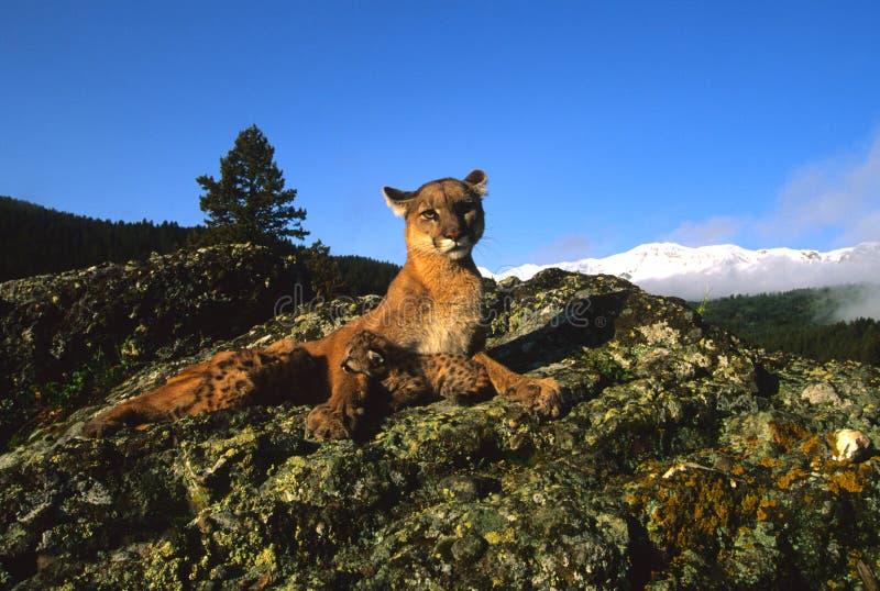 Leão de montanha com gatinhos imagem de stock