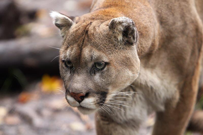 Leão de montanha de desengaço fotografia de stock