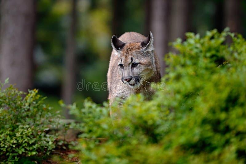 Leão de montanha do perigo na floresta verde imagens de stock royalty free