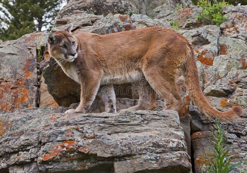 Leão de montanha em rochas imagens de stock