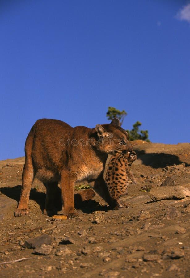 Leão de montanha fêmea que carreg Cub foto de stock royalty free