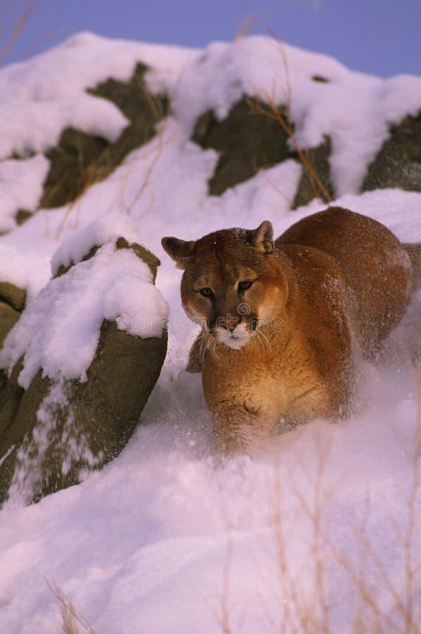 Leão de montanha na neve imagens de stock royalty free
