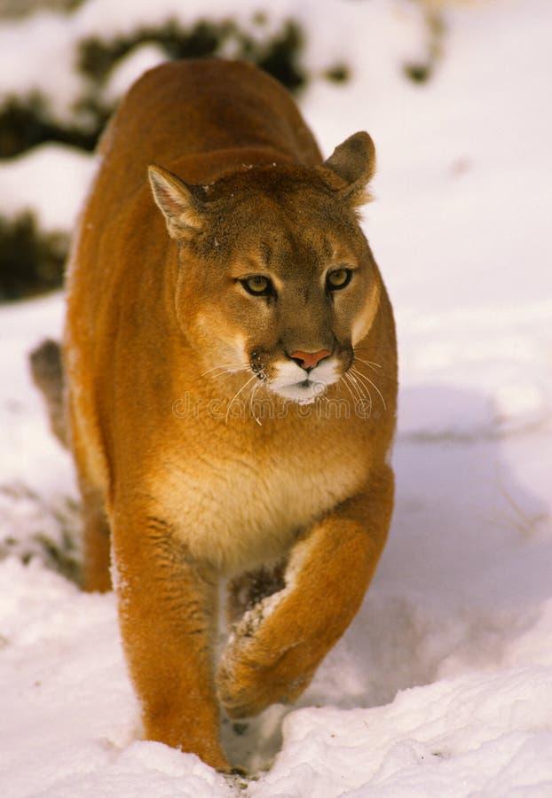 Leão de montanha na neve fotografia de stock