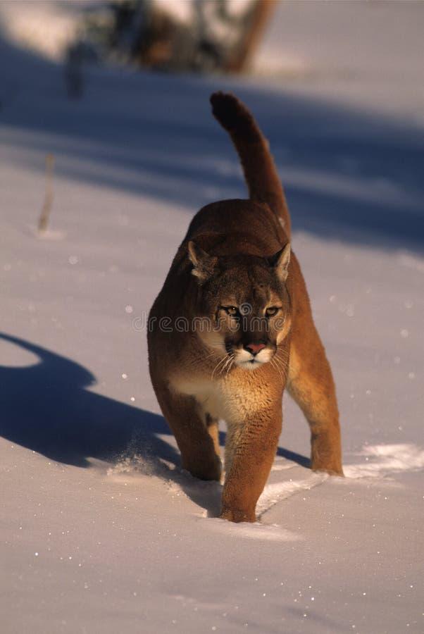Leão de montanha na neve foto de stock
