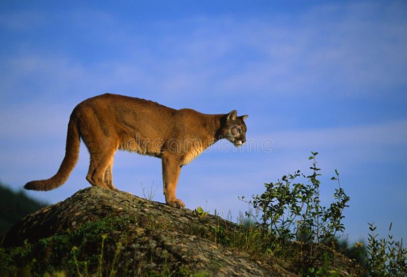 Leão de montanha na rocha imagem de stock