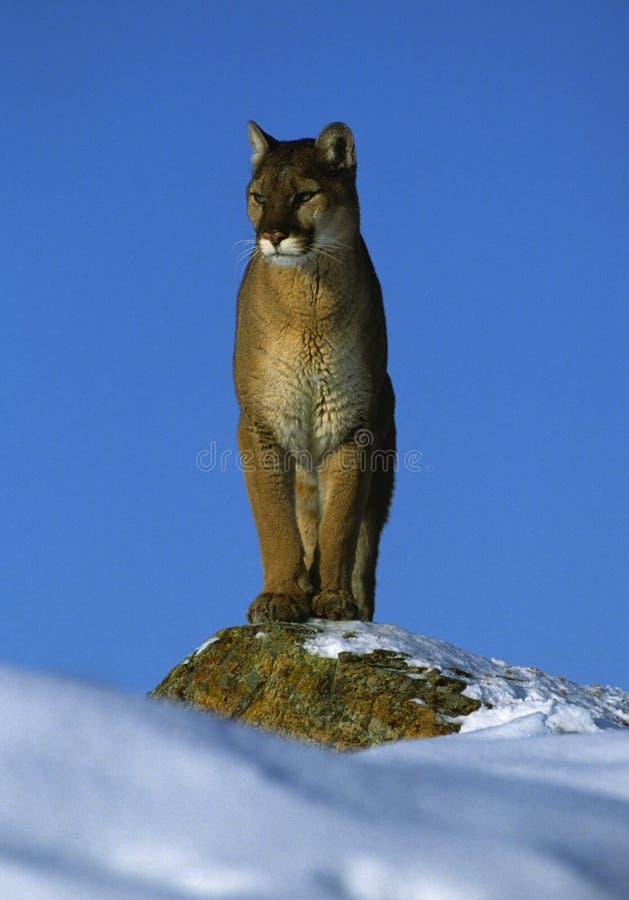 Leão de montanha na rocha nevado fotos de stock royalty free