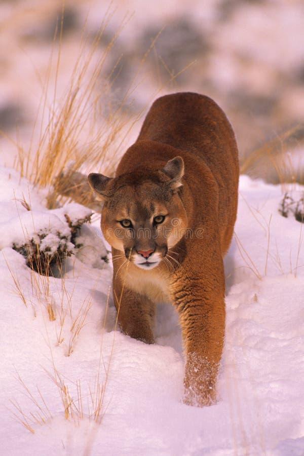Leão de montanha no inverno foto de stock royalty free