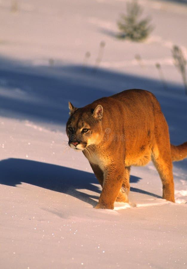 Leão de montanha no inverno imagem de stock