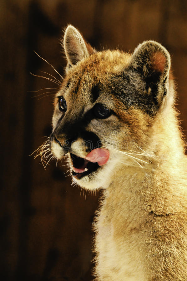 Leão de montanha novo foto de stock royalty free