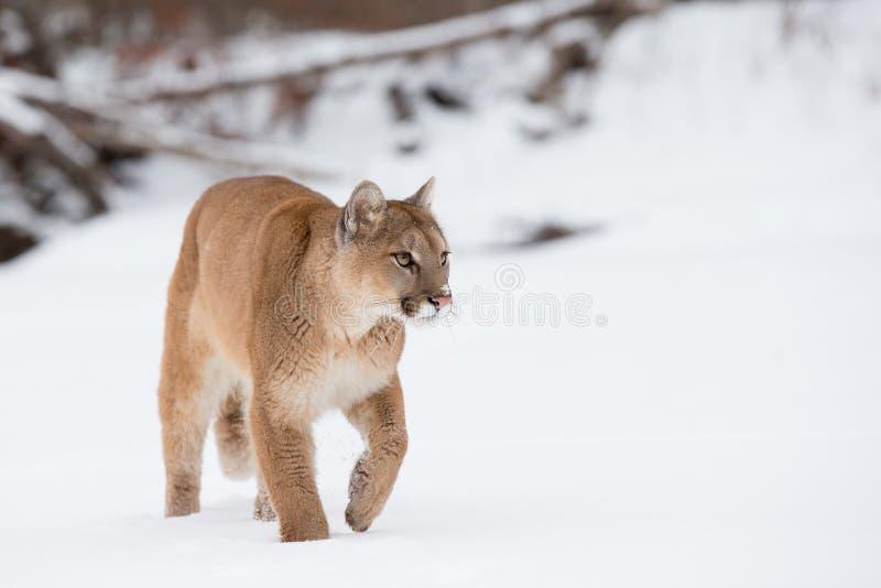 Leão de montanha que anda ao longo do rio nevado fotografia de stock