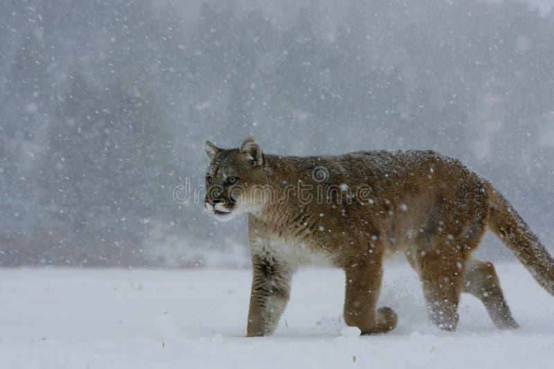 Leão de montanha que anda na neve foto de stock royalty free