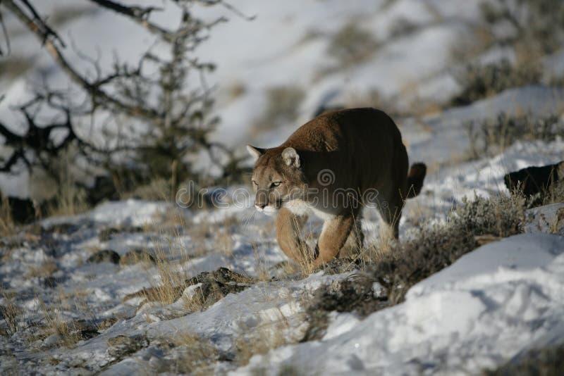 Leão de montanha que anda no sagevrush fotos de stock