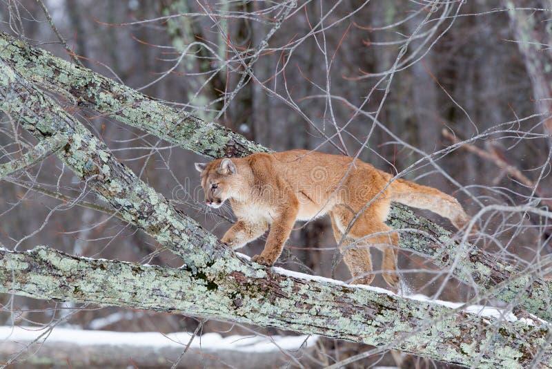 Leão de montanha que escala na árvore imagem de stock