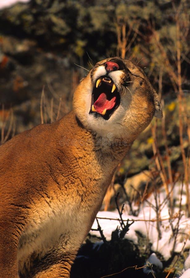 Leão de montanha que Snarling fotografia de stock