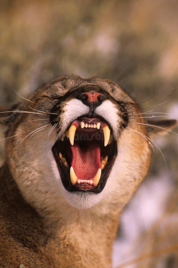 Leão de montanha Snarling fotografia de stock royalty free