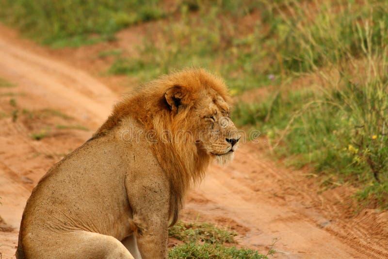 Leão deprimido com os olhos fechados fotos de stock