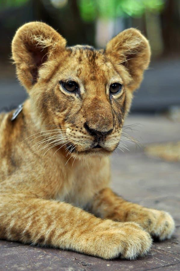 Leão do bebê foto de stock royalty free
