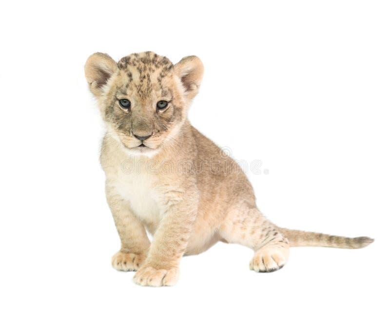 Leão do bebê isolado no fundo branco fotos de stock