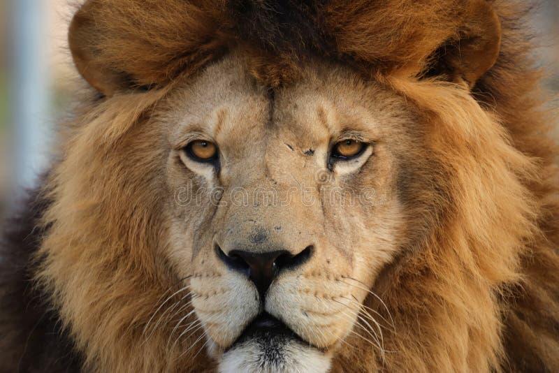 Leão do berber da cara do detalhe fotografia de stock