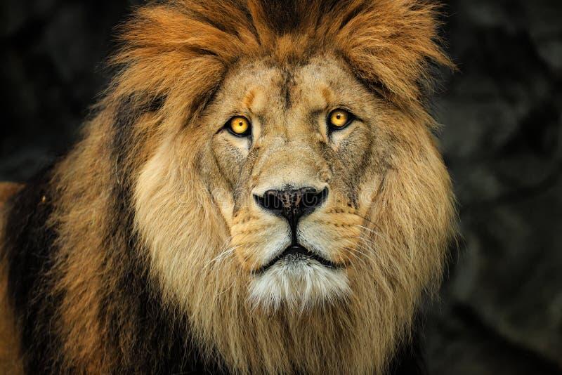 Leão do berber da cara do detalhe Leão majestoso do retrato imagem de stock