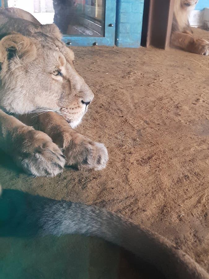 Leão do jardim zoológico de ZSL Londres imagem de stock
