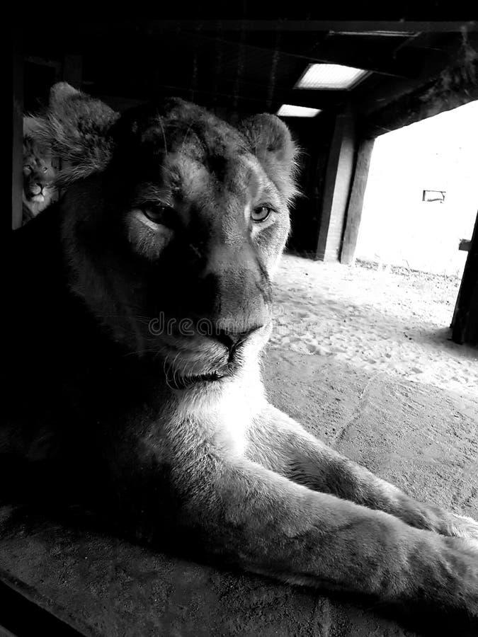 Leão do jardim zoológico de ZSL Londres imagem de stock royalty free