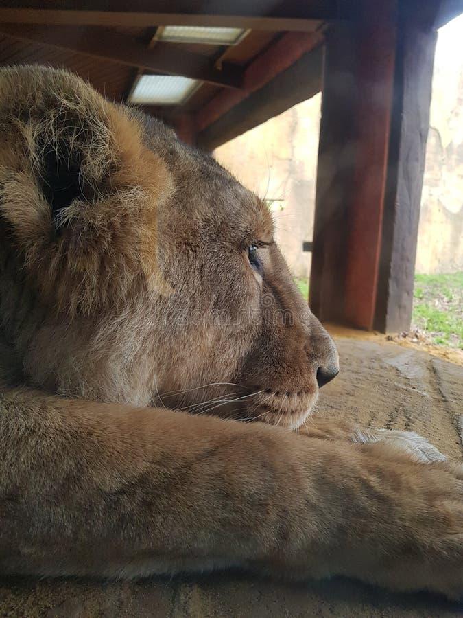 Leão do jardim zoológico de ZSL Londres foto de stock royalty free