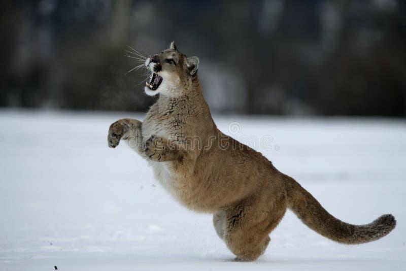 Leão do puma ou de montanha, concolor do puma imagem de stock royalty free