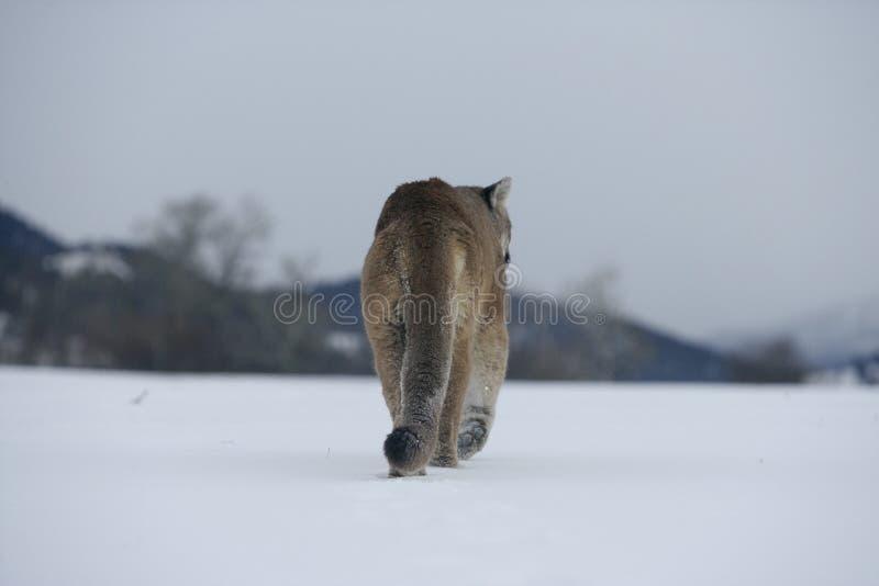 Leão do puma ou de montanha, concolor do puma fotos de stock