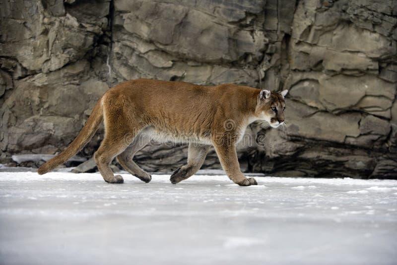 Leão do puma ou de montanha, concolor do puma foto de stock royalty free