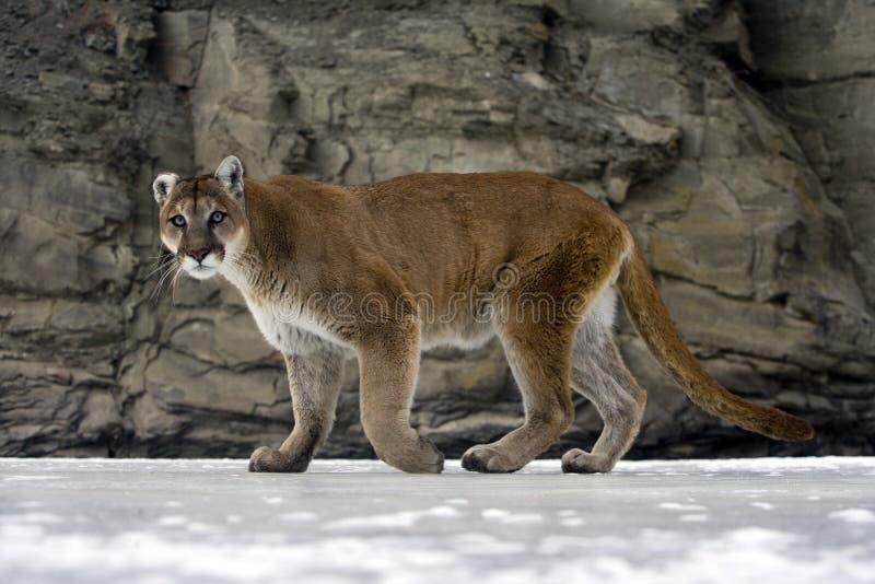 Leão do puma ou de montanha, concolor do puma fotos de stock royalty free