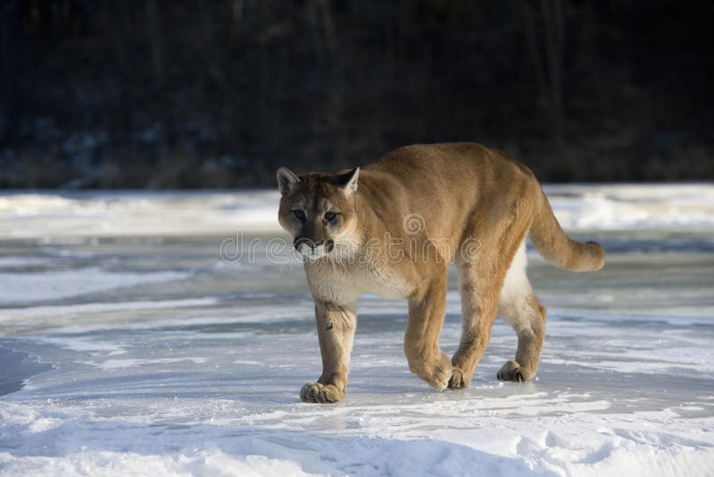 Leão do puma ou de montanha, concolor do puma foto de stock