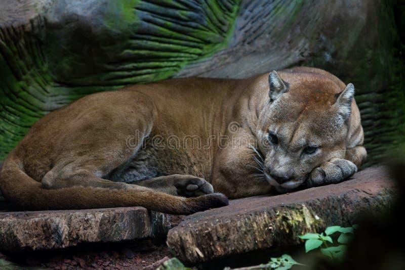 Leão do puma ou de montanha - concolor do puma foto de stock