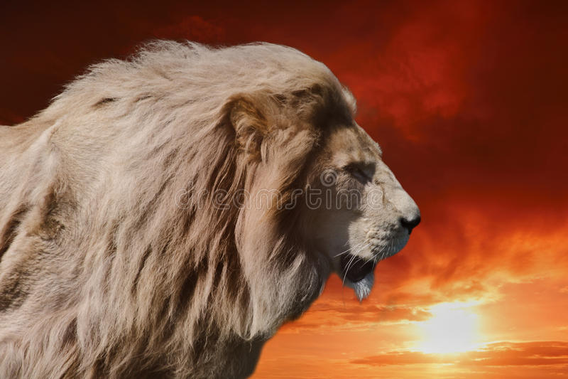 Leão do rei foto de stock royalty free