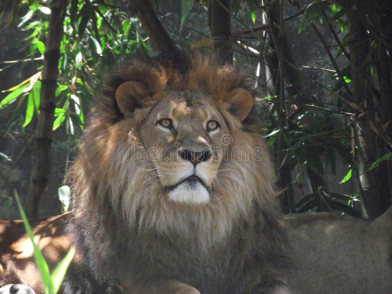 Leão do rei Of The Jungle fotografia de stock