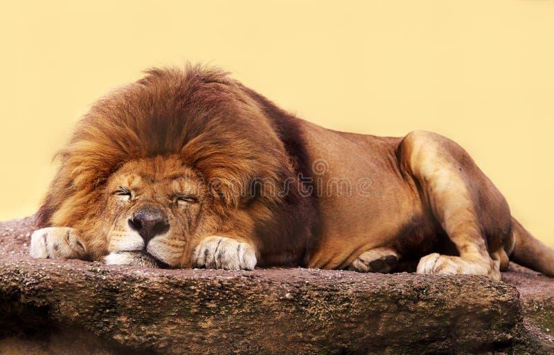Leão do sono fotografia de stock