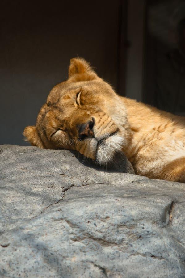 Leão do sono foto de stock
