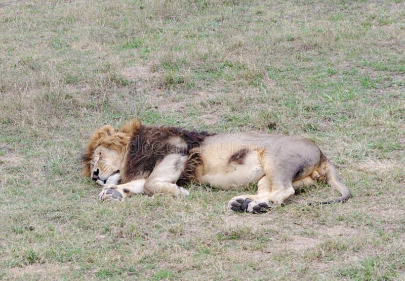 Leão do sono, Safari Park Taigan (parque) dos leões, Crimeia foto de stock