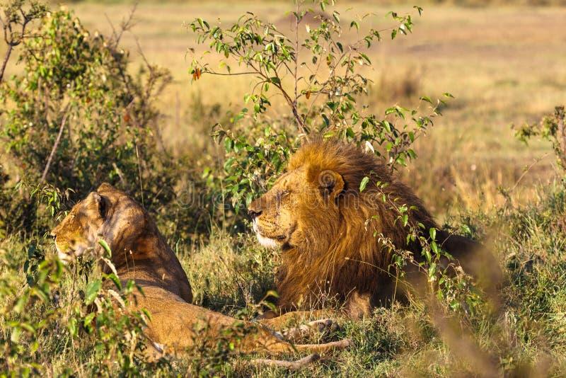 leão dois Pares Loving Leões no savana Masai Mara, Kenya foto de stock