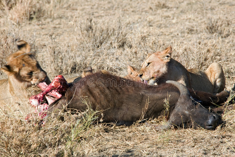 Leão Dos Animais 036 Fotos de Stock