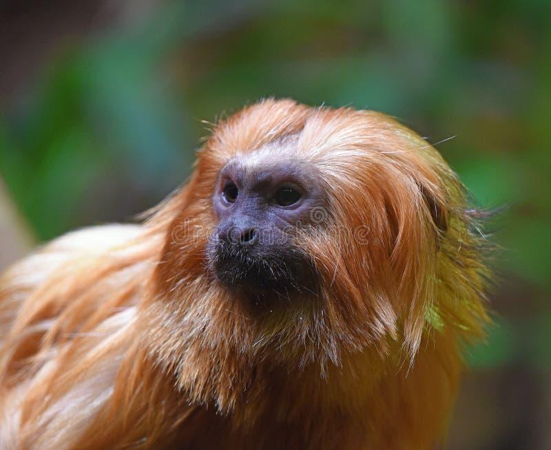 Leão dourado do Tamarin fotos de stock royalty free