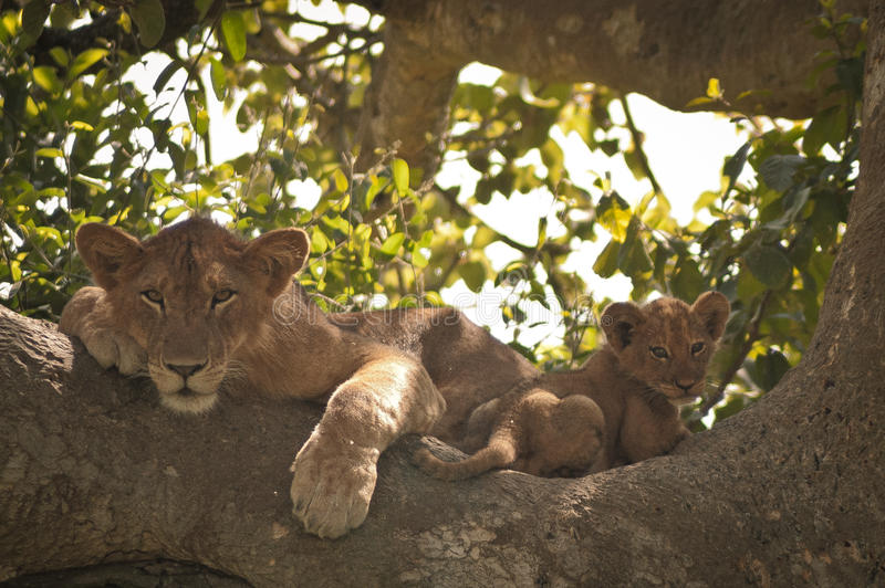 Leão e filhote de escalada da árvore imagens de stock
